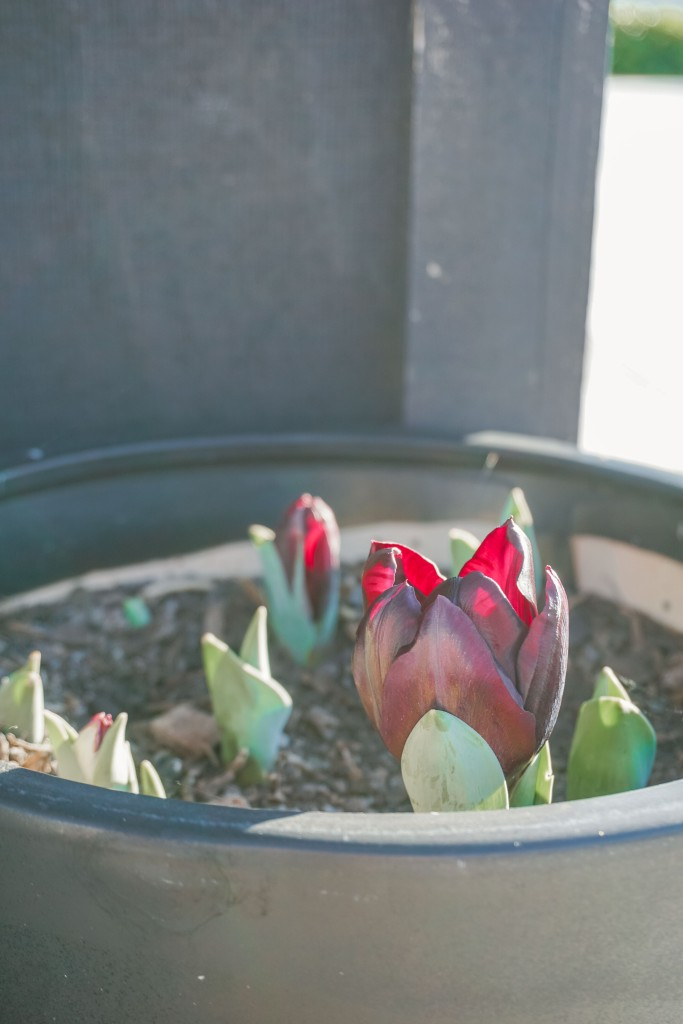 Black Magic tulips growing in a black pot.