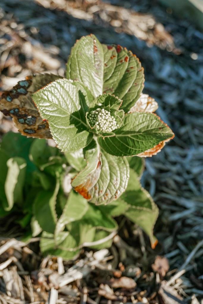Hydrangea buds on tiny hydrangea shrubs.